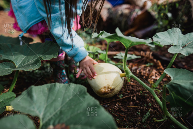Child touching pumpkin vine growing in the garden