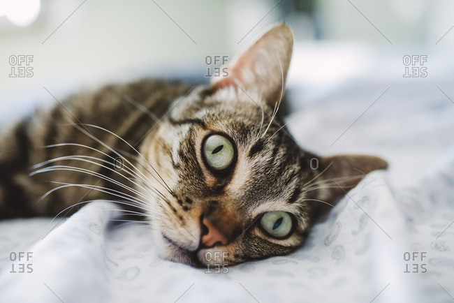 Tabby cat- portrait on the bed