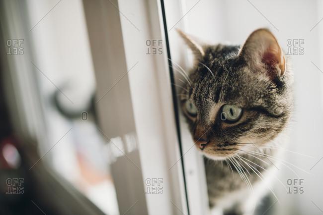 Tabby cat watching something