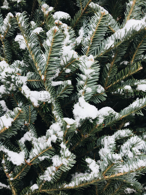 Close up of snow resting on branches of evergreen tree