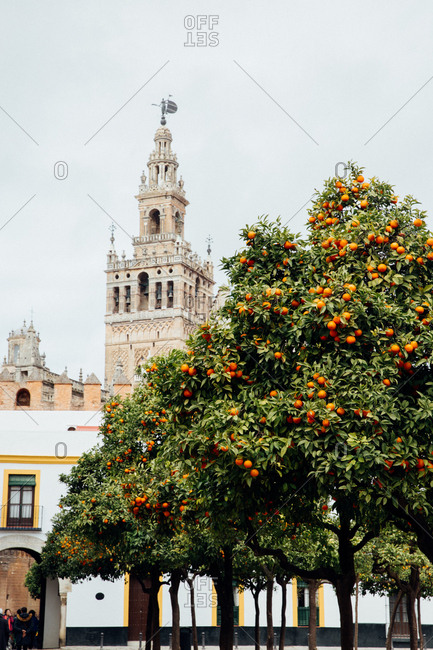 The Giralda of Seville Cathedral rising above orange trees full of fruit