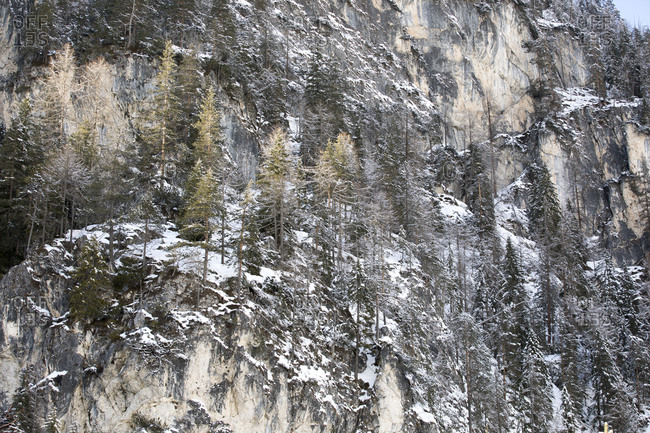 Snow covered trees clinging to a craggy rock face