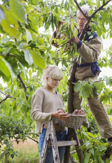 Grandfather and granddaughter harvesting in orchard