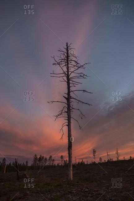 Bare tree at sunset in Vasterbotten, Sweden