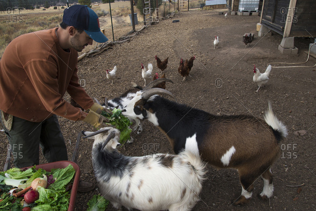 Man feeding goats
