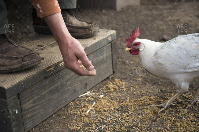Low section of man feeding hen