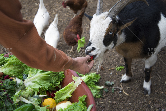 Cropped image of man feeding goat