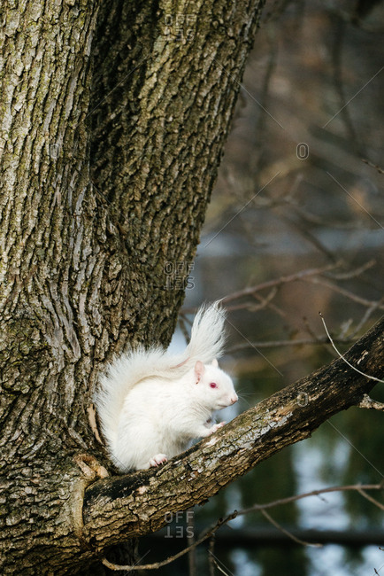 Albino squirrel sitting on a tree branch