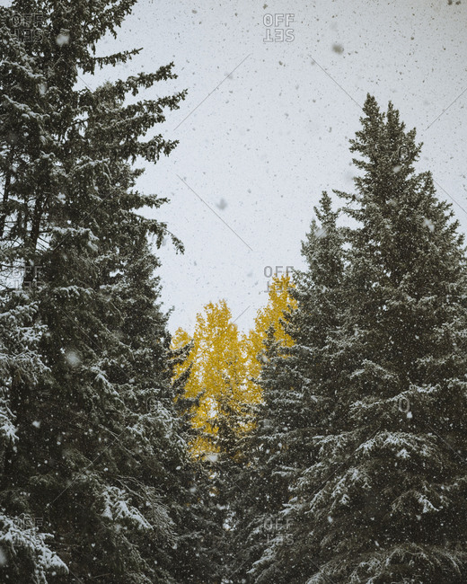 Snow falls on evergreen trees with one golden deciduous in middle