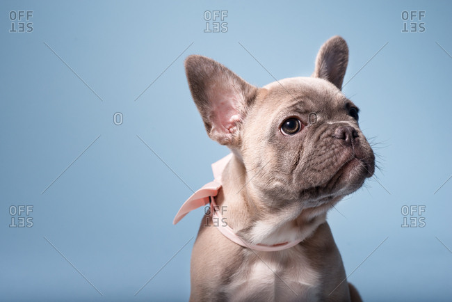 French Bulldog puppy poses for headshot