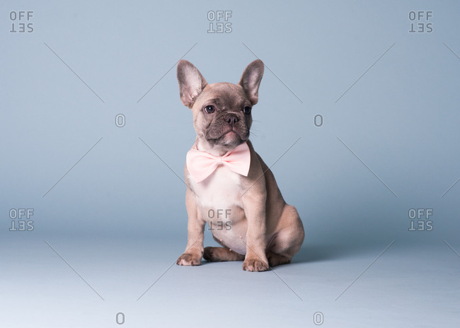 French Bulldog puppy wearing pink bow tie poses for a portrait