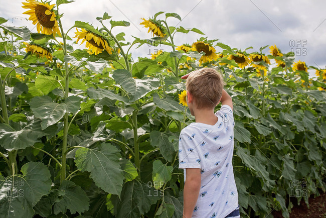 Blonde boy looking at sunflowers