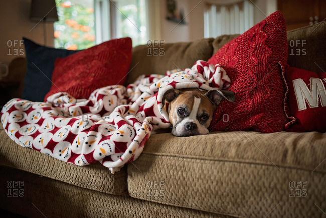 Boxer dog resting on couch under a snowman blanket