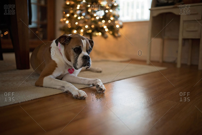 Boxer dog lying on floor near Christmas tree