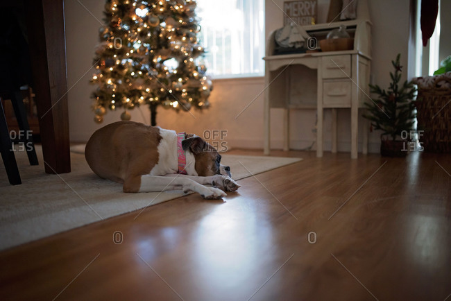 Boxer dog resting on floor near Christmas tree