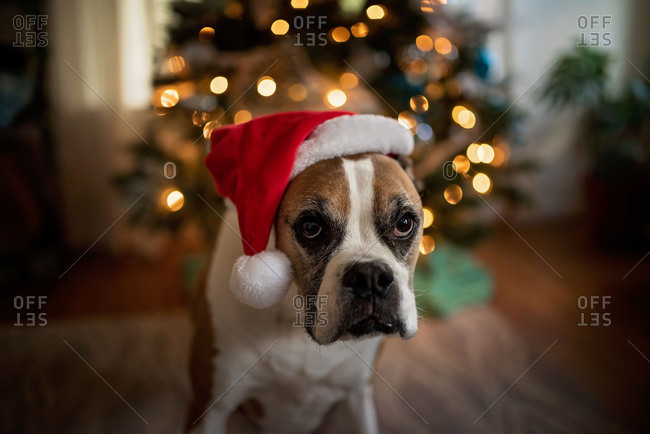 Boxer dog wearing Santa hat near Christmas tree