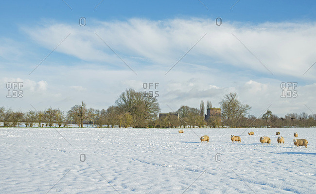 Herd of sheep in snowy meadow in Dutch rural winter landscape