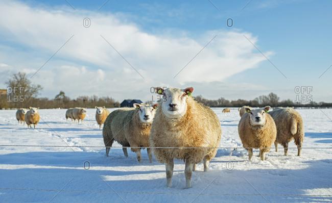 Herd of sheep in Dutch winter countryside