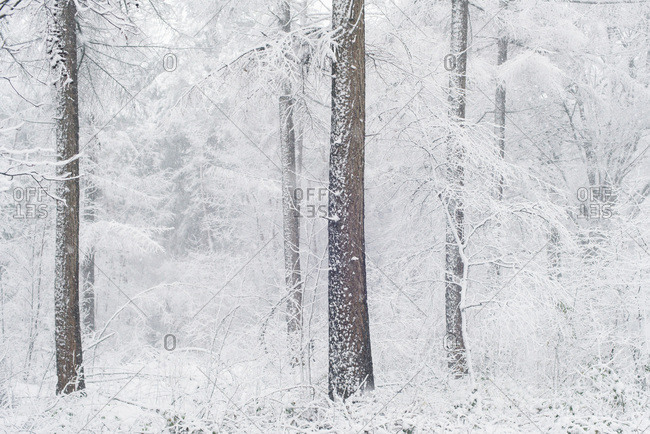 White trees in winter forest during snowfall