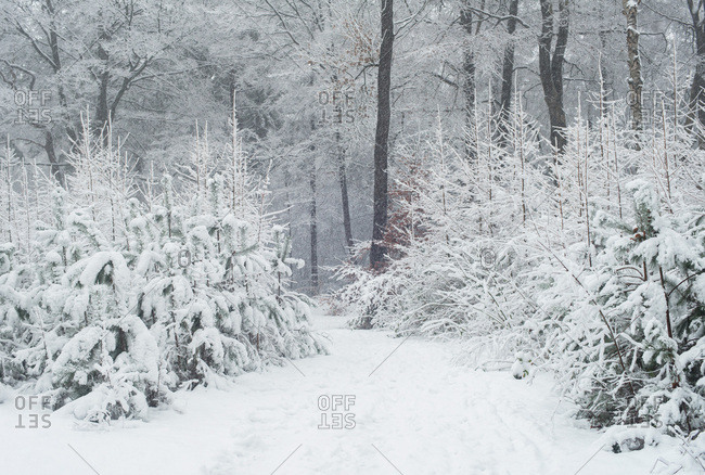 Path in winter forest with pine and deciduous trees covered in snow