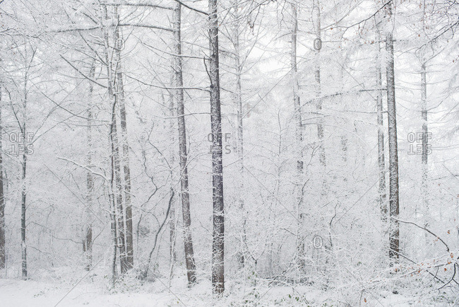 Trees covered in snow in a forest during snowfall