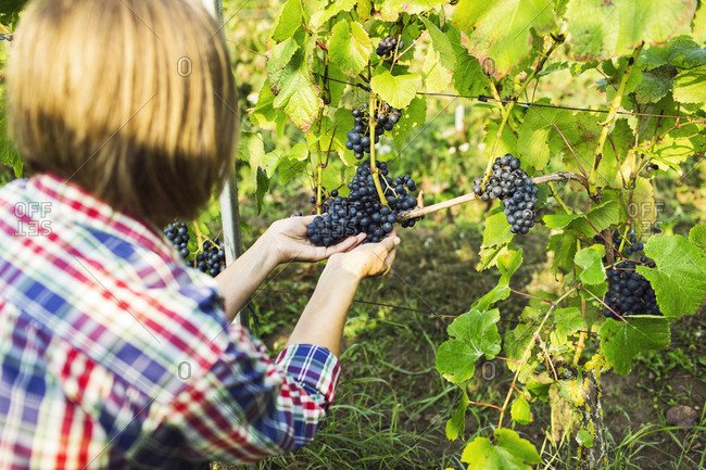 Woman picking red grapes in vineyard
