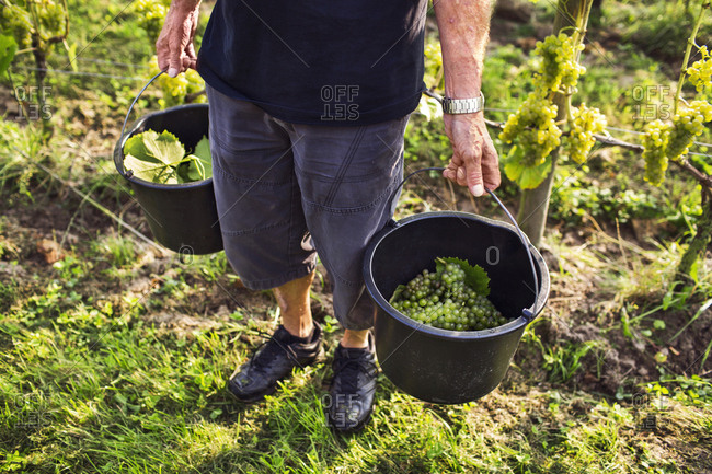Low section of man carrying white grapes in buckets
