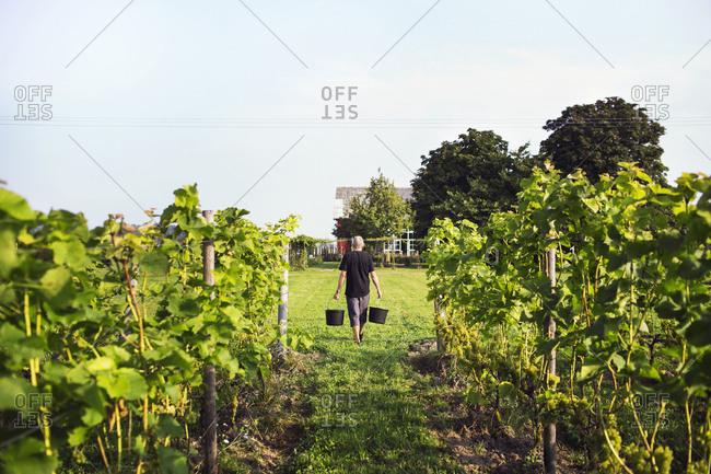 Man carrying buckets in vineyard