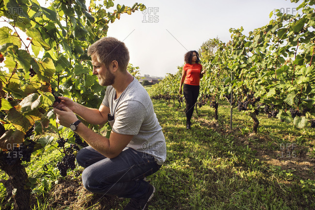 Man and woman picking red grapes in vineyard