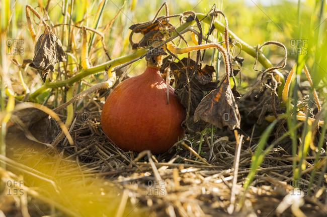 Pumpkin in grass - Offset Collection