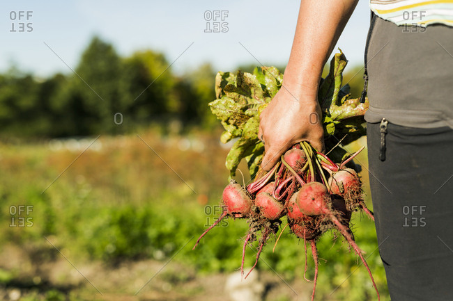 Mid section of woman holding beetroots