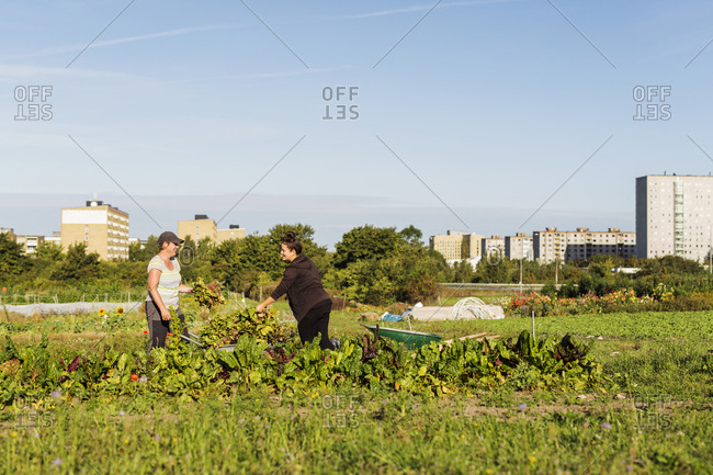 Two women working on allotment
