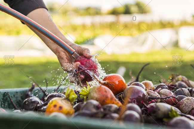Person using garden hose to wash beetroots