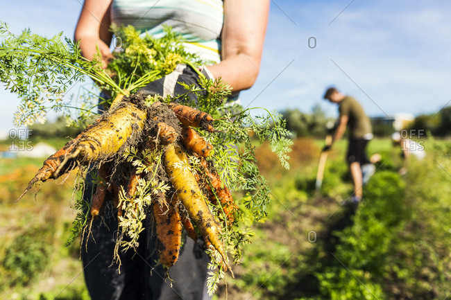 Woman holding carrot, people working on allotment in background