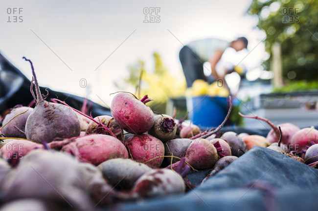 Close-up of fresh beetroots, woman working on allotment in background