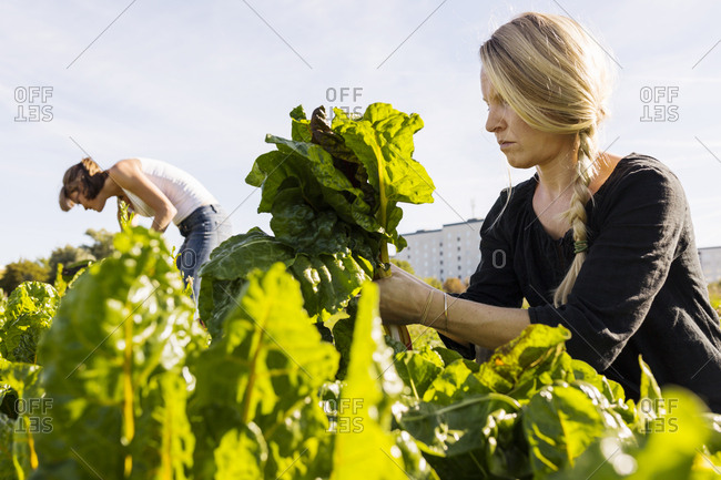 Two women picking chard on allotment