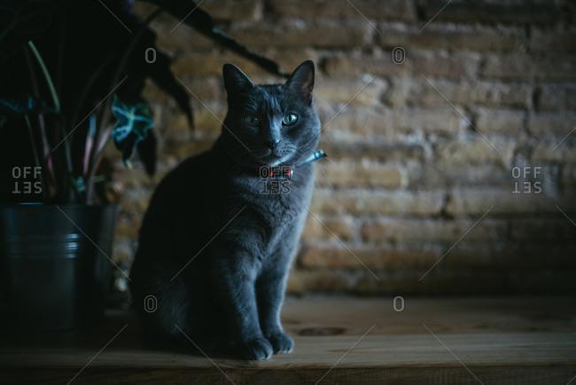 Russian blue cat staring forward in a dark room
