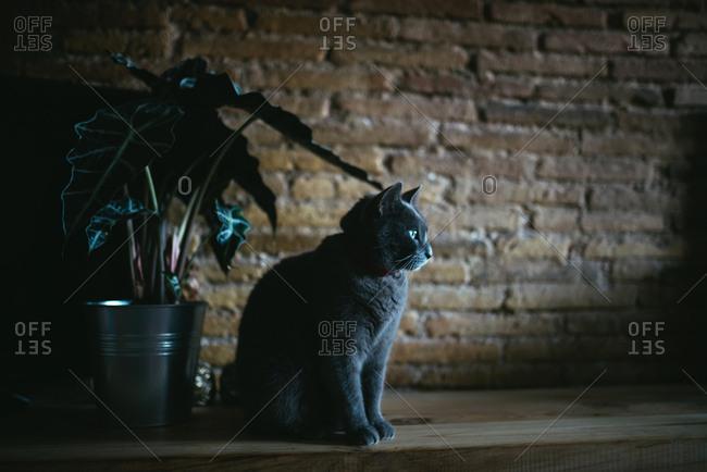 Russian blue housecat looking at window light