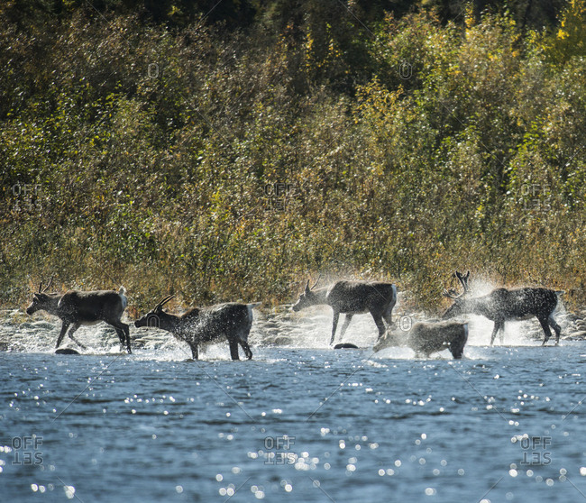 Deer in river at Yukon Charley Rivers National Preserve during sunny day