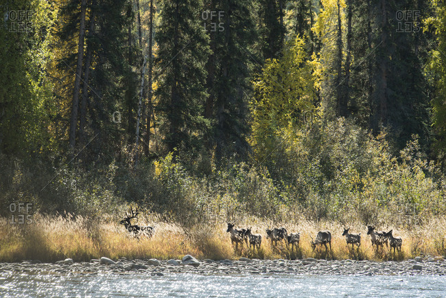 Deer standing on riverbank at Yukon Charley Rivers National Preserve
