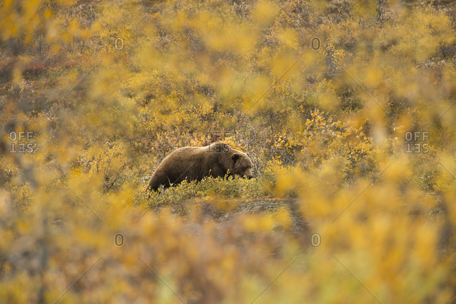 Bear on field at Denali National Park and Preserve