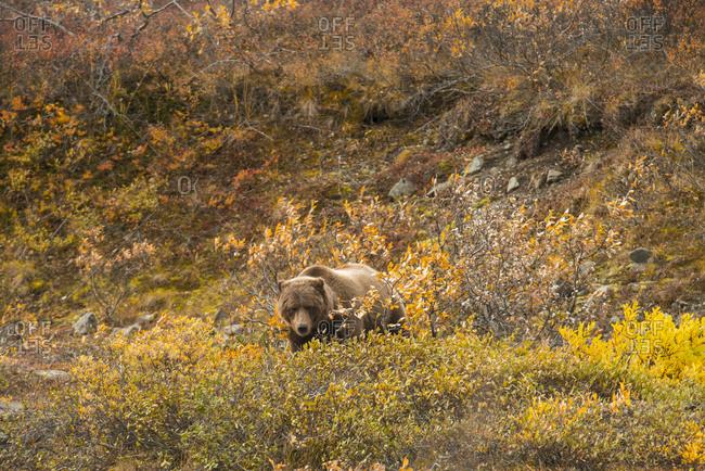 Bear on field at Denali National Park and Preserve