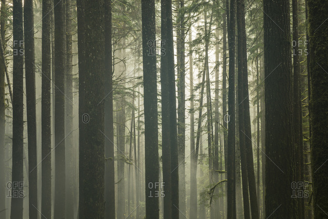 Tranquil view of trees growing in forest during foggy weather