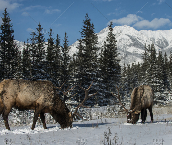 Stag grazing on snowy field against mountains
