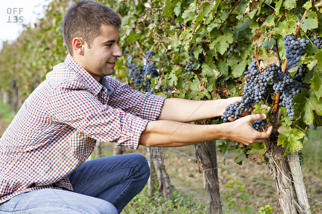Grape harvest, Young man picking grapes, Slavonia, Croatia