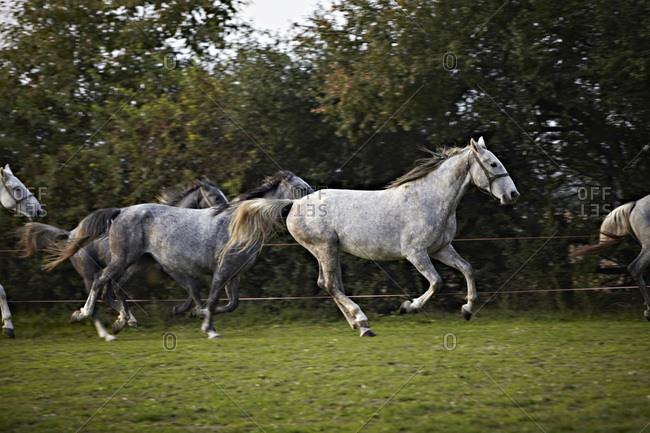 Galloping Horses, Croatia, Europe