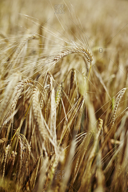 Wheat Field, Croatia, Dalmatia, Europe