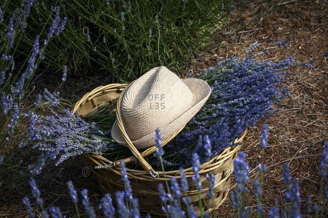 Lavender Flowers in Basket, Croatia, Dalmatia, Europe