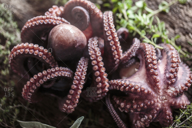 Octopus, close-up