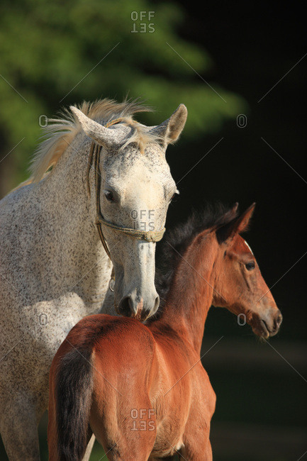 Lippizan horses, Germany, Europe